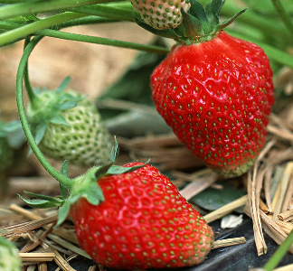 Copy of fruit_strawberry