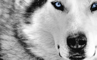 Copy of white_wolf